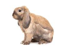 Il coniglio lop-eared nano alleva la ram. Fotografie Stock Libere da Diritti