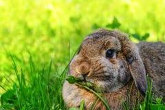 Il coniglio sta sedendosi nell'erba immagine stock libera da diritti