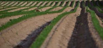 Il coniglio in un campo con la carota copre di foglie visibile Immagini Stock
