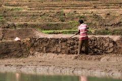 Il connazionale indiano lavora alla piantagione del riso Fotografie Stock Libere da Diritti