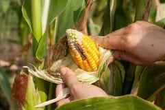 Il contadino è raccogliere pannocchie nocive Immagini Stock