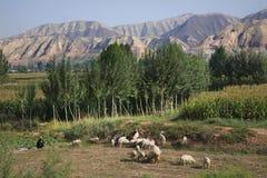 Il contadino cinese pota le pecore Cina del Gansu Fotografia Stock