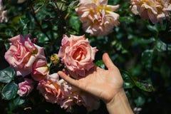 Il contatto femminile della mano è aumentato fotografia stock libera da diritti