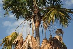 Il contrasto della palma fra vivere ed asciuga le foglie sul fondo del cielo immagini stock libere da diritti