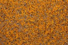 Il coregone lavarello del fiore del tagete Fotografie Stock
