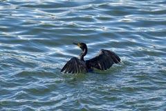 Il cormorano pelagico spande le ali in acqua immagine stock