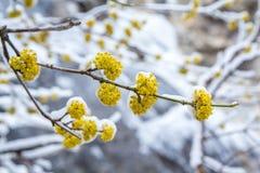 Il corniolo di fioritura si ramifica nel ghiaccio in primavera Fotografie Stock