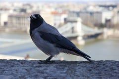 Il cornix di corvo è specie di un uccello del eurasian nel genere del corvo immagine stock libera da diritti