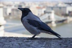 Il cornix di corvo è specie di un uccello del eurasian nel genere del corvo immagini stock