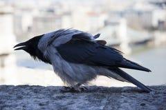 Il cornix di corvo è specie di un uccello del eurasian nel genere del corvo immagine stock