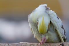 Il corpo di pulizia del cockatiel Immagine Stock Libera da Diritti