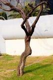 Il corpo e le armi dell'albero Fotografia Stock Libera da Diritti