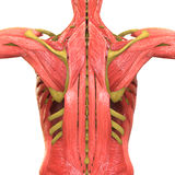 Il corpo umano Muscles l'anatomia Fotografie Stock