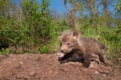 Il corredo di Fox rosso (vulpes di vulpes) striscia circa la tana esterna Fotografie Stock