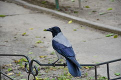 Il corvo Immagine Stock