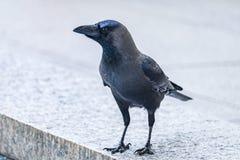 Il corvo Fotografia Stock Libera da Diritti