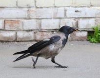 Il corvo con alimento in suo becco va lungo il muro di mattoni bianco immagine stock libera da diritti