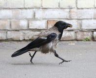 Il corvo con alimento in suo becco va lungo il muro di mattoni bianco fotografie stock libere da diritti