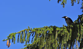 Il corvo della sentinella Immagini Stock Libere da Diritti