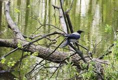 Il corvo nero Fotografia Stock Libera da Diritti
