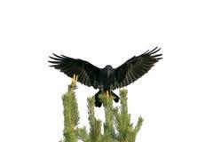 Il corvo nero si siede sopra un albero verde ed agita le sue ali su wh fotografie stock libere da diritti