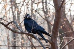 Il corvo nero si siede su un ramo immagine stock