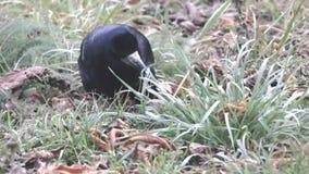 Il corvo scava il suo becco in erba e foglie asciutte alla ricerca dei lombrici video d archivio