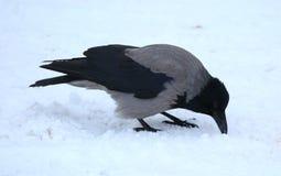 Il corvo seleziona il suo becco nella neve immagine stock