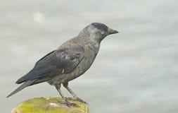 Il corvo si è appollaiato su un alberino. Fotografia Stock