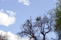 Il corvo si siede su su un albero Rami di albero nudi contro lo sfondo di un cielo blu profondo con le nuvole fotografia stock