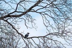 Il corvo si siede su un bello albero privo di rami pittoresco senza foglie punteggia il paesaggio dell'autunno-inverno fotografie stock
