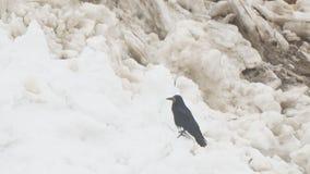 Il corvo si siede sulla neve della molla