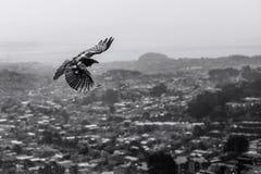 Il corvo sorvola la cima della città Fotografia Stock Libera da Diritti