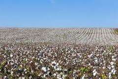 Il cotone sistema il bianco con cotone maturo pronto per raccogliere Fotografia Stock Libera da Diritti