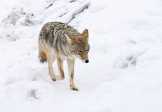 Il coyote che cammina sopra indurisce la neve fotografia stock libera da diritti