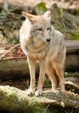 Il coyote dell'animale selvatico sta sul ceppo che cerca la preda Immagini Stock