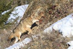 Il coyote sopra vaga in cerca di preda Immagini Stock Libere da Diritti