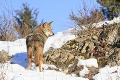 Il coyote sopra vaga in cerca di preda Fotografia Stock Libera da Diritti