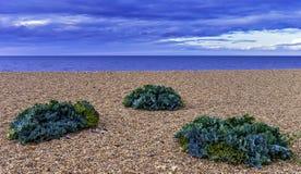 Il crambe maritima del cavolo marino pianta la crescita sulla spiaggia in Dorset, Regno Unito fotografia stock