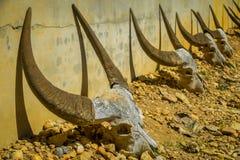 Il cranio della Buffalo è disposto intorno al padiglione del tamburo nella Camera del nero del museo di Baandam, è creato e proge Fotografia Stock Libera da Diritti