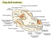 Il cranio di un cane Struttura delle ossa della testa, progettazione anatomica Nel Latino illustrazione di stock