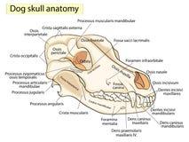 Il cranio di un cane Struttura delle ossa della testa, progettazione anatomica Nel Latino illustrazione vettoriale
