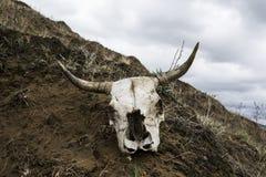 Il cranio di un toro immagine stock libera da diritti