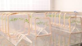 Il crescione di Thale ed il crescione dell'topo-orecchio, arabidopsis thaliana è una genetica del vegetale di modello importante  stock footage