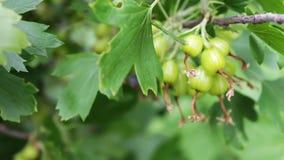 Il crespino verde si sviluppa sul ramo nel giardino archivi video