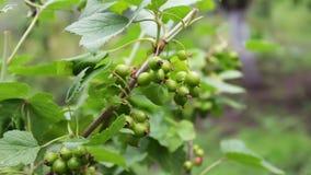 Il crespino verde si sviluppa sul ramo nel giardino stock footage