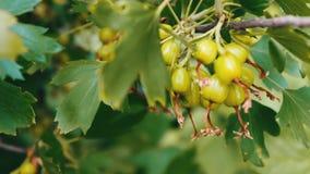 Il crespino verde si sviluppa sul ramo nel giardino video d archivio