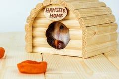 Il criceto mangia le albicocche secche dentro la casa di legno Immagini Stock Libere da Diritti