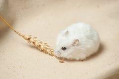 Il criceto mangia un seme Fotografia Stock Libera da Diritti