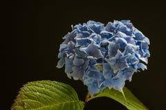 Il crisantemo Fotografia Stock Libera da Diritti